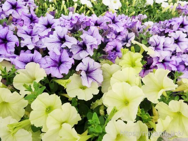 戸崎公園の花壇の花